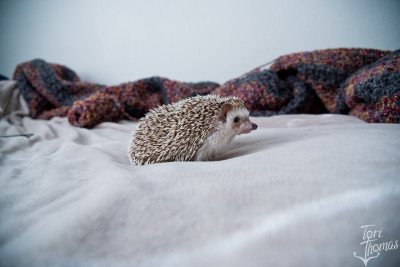 Timon the Hedgehog